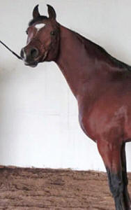 RS Hollywood, our Arabian stallion